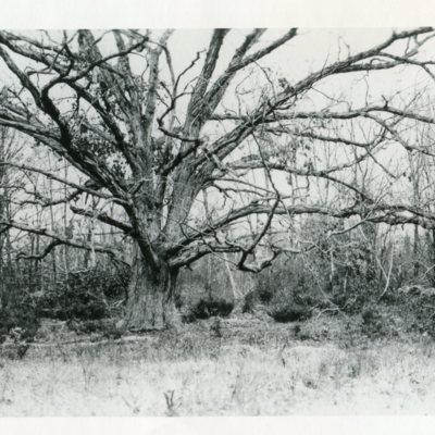 Great Oak near Pest House Cemetery.jpg
